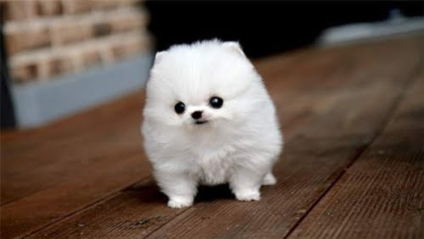 fluffy_white_dog1